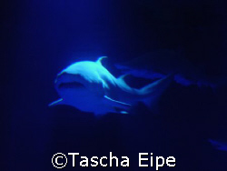 Grey nurse shark by Tascha Eipe 